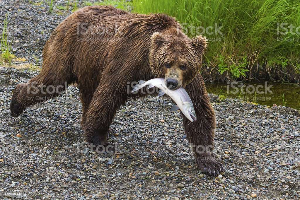 Brown Bear Walking With Salmon in Mouth royalty-free stock photo