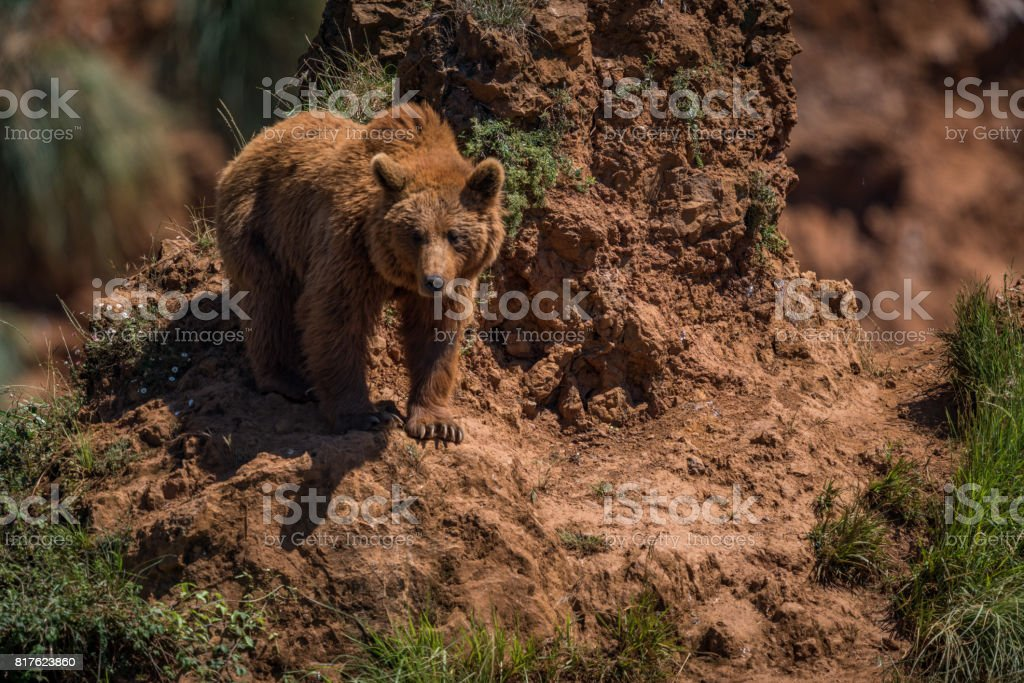 Brown bear watches from steep rocky outcrop stock photo