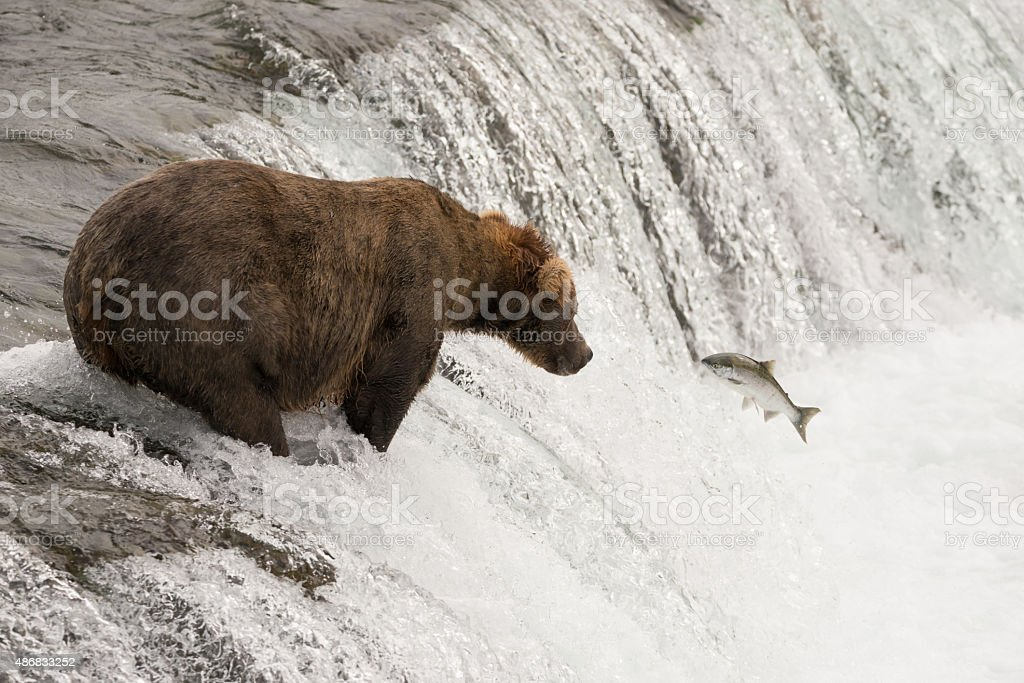 Brown bear watches salmon leaping towards it stock photo