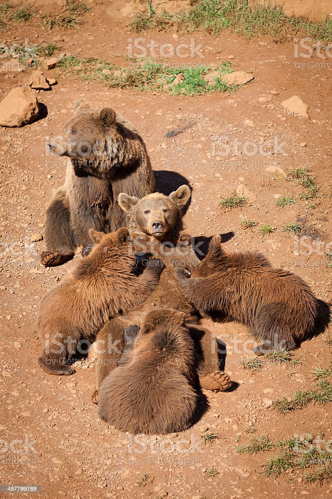 Brown bear with babies stock photo