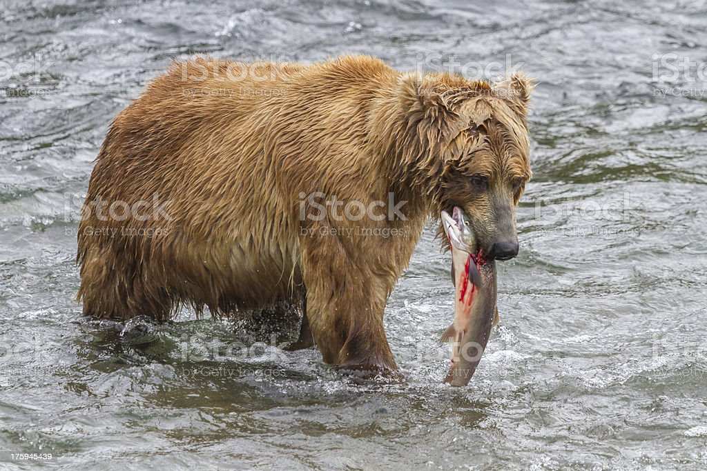 Brown Bear With Bloody Salmon in Mouth royalty-free stock photo