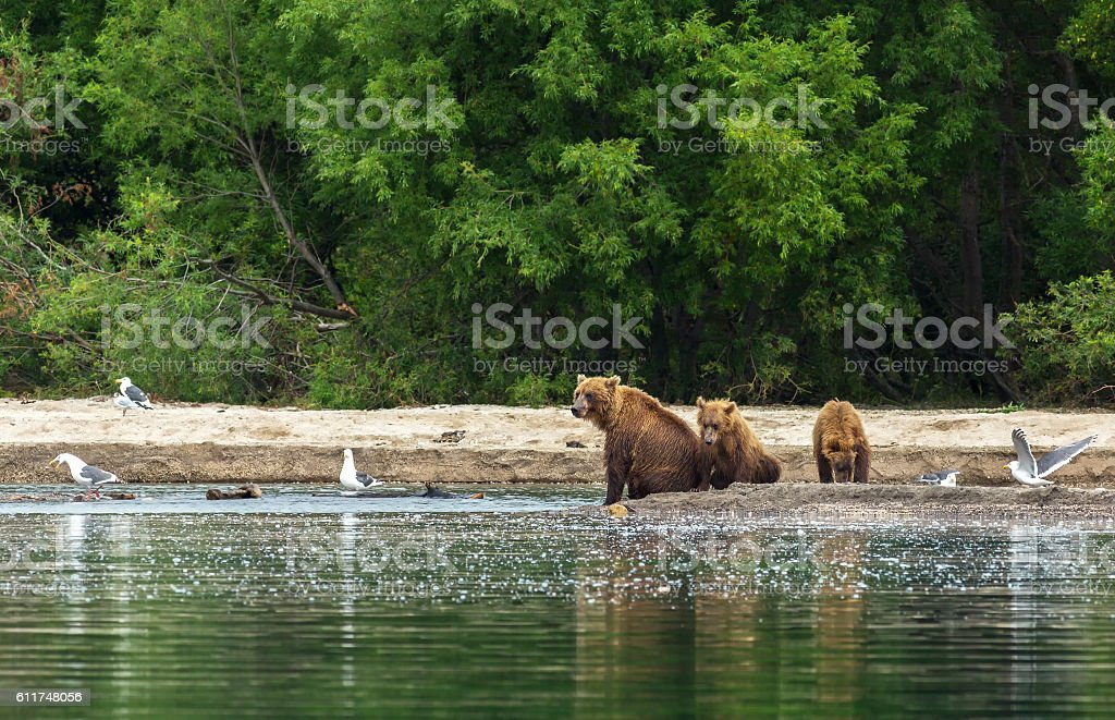 Brown bear with cubs on the shore of Kurile Lake. stock photo