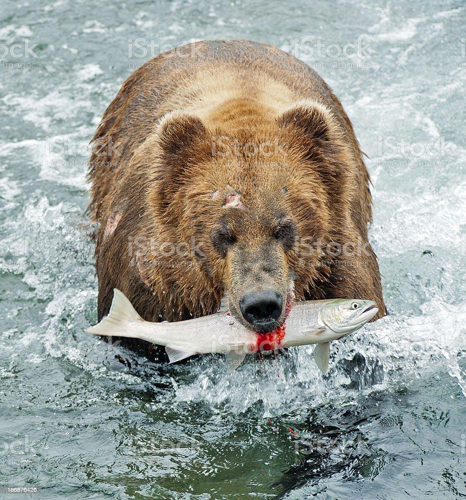 Brown bear with fresh salmon royalty-free stock photo