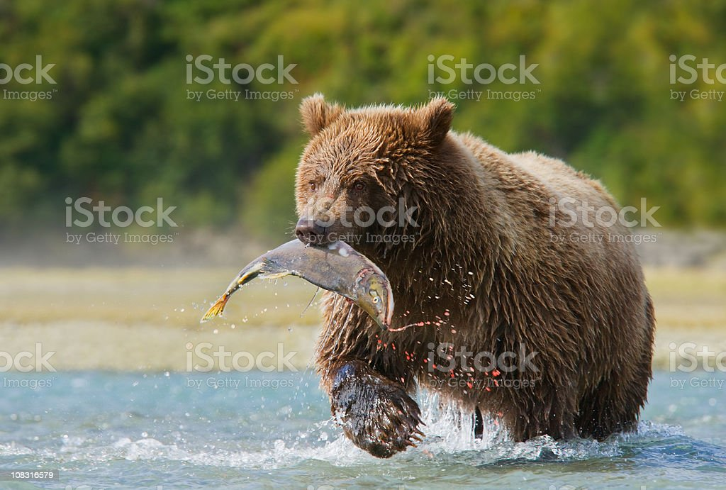 Brown Bear with Pink Salmon royalty-free stock photo