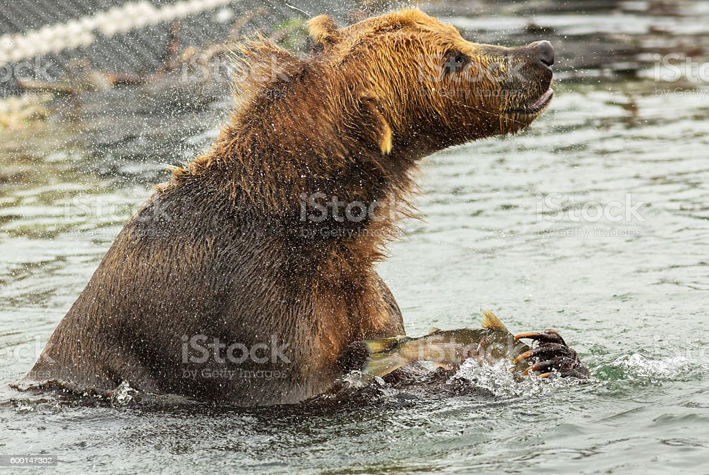 Brown bear with prey in its claws shakes off water stock photo