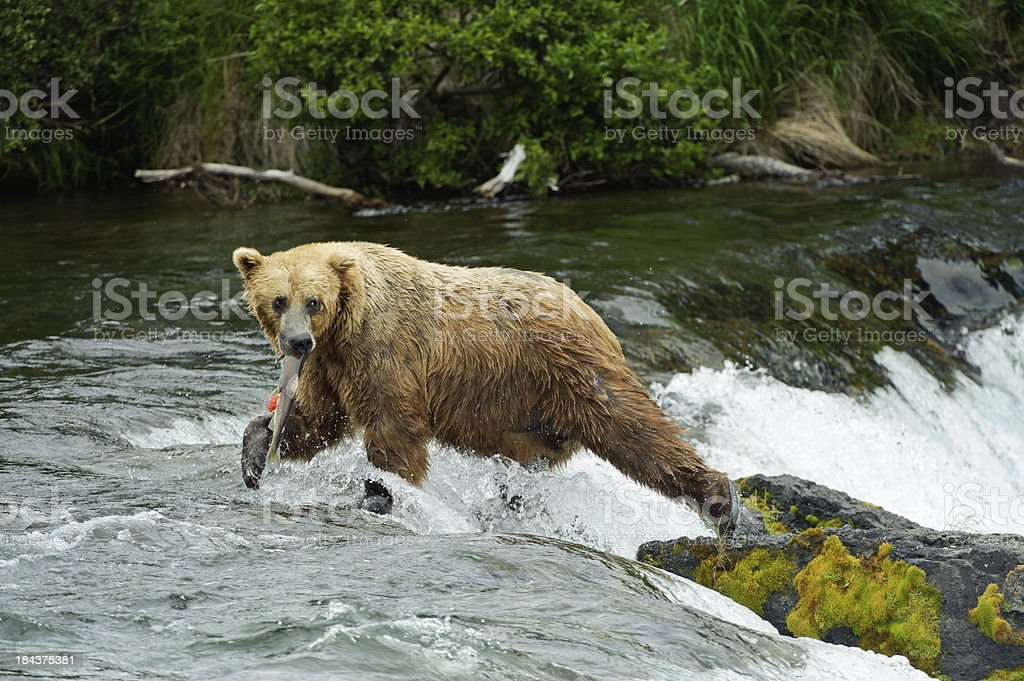 Brown bear with salmon at Brooks Falls Alaska royalty-free stock photo