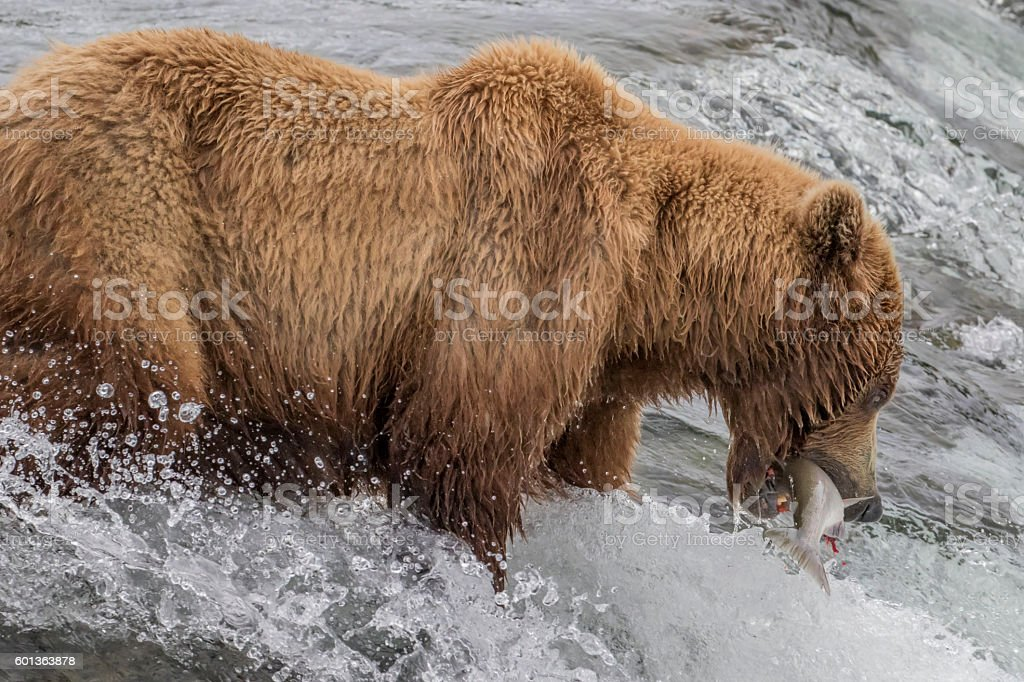 Brown Bear With Salmon in Mouth at Brooks Falls, Alaska stock photo