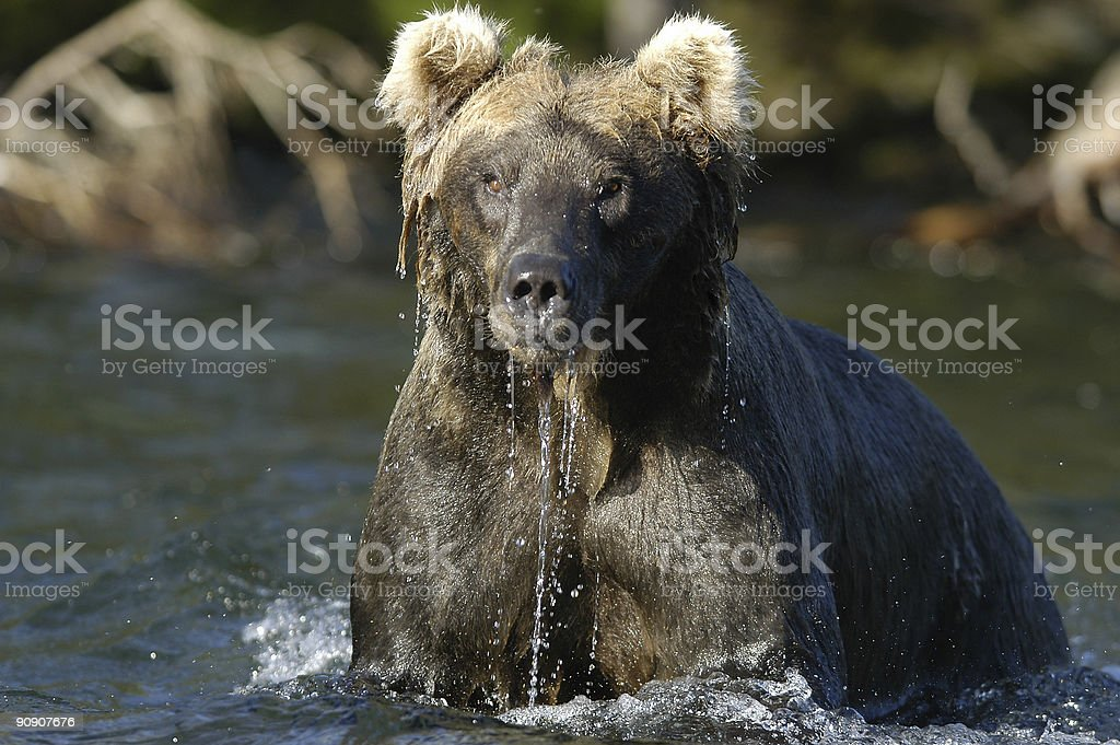 Brown bear with water dripping stock photo