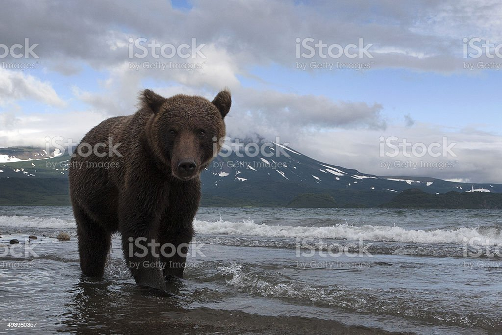 Brown bears catching fish in the lake stock photo