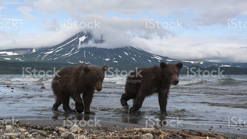 Brown bears cubs catching fish in the lake stock photo