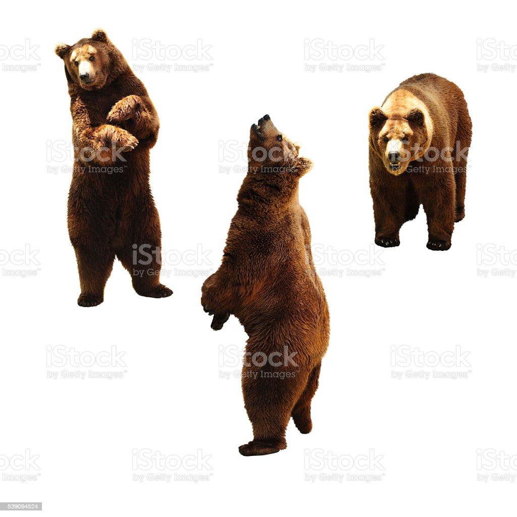 Brown bears on white. stock photo