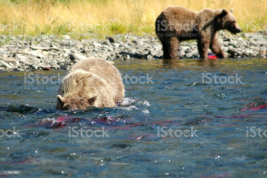 Brown bears royalty-free stock photo