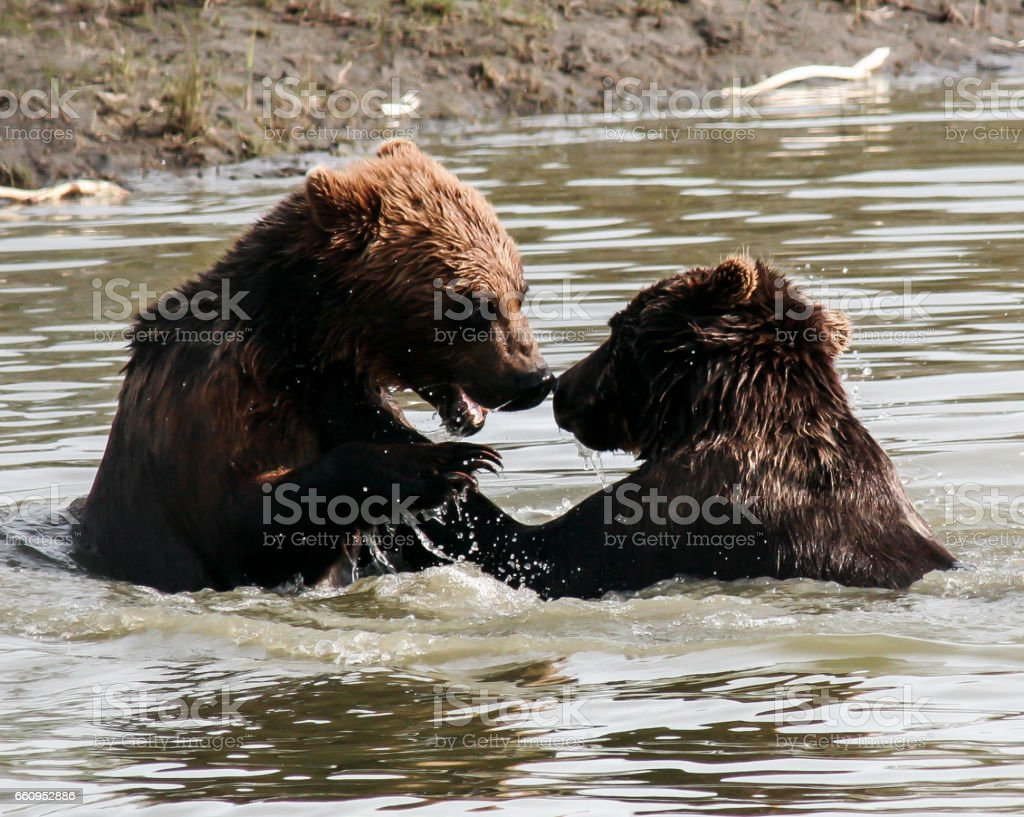 Brown Bears Splash and Play stock photo