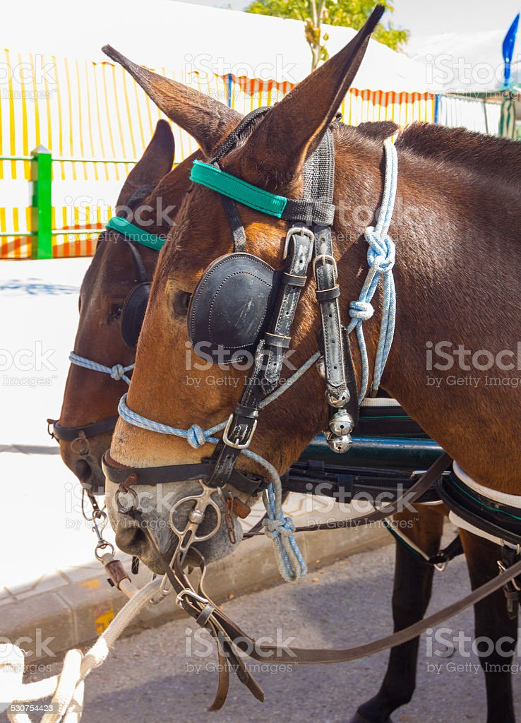 brown beautiful couple of Andalusian horses with their preparati stock photo