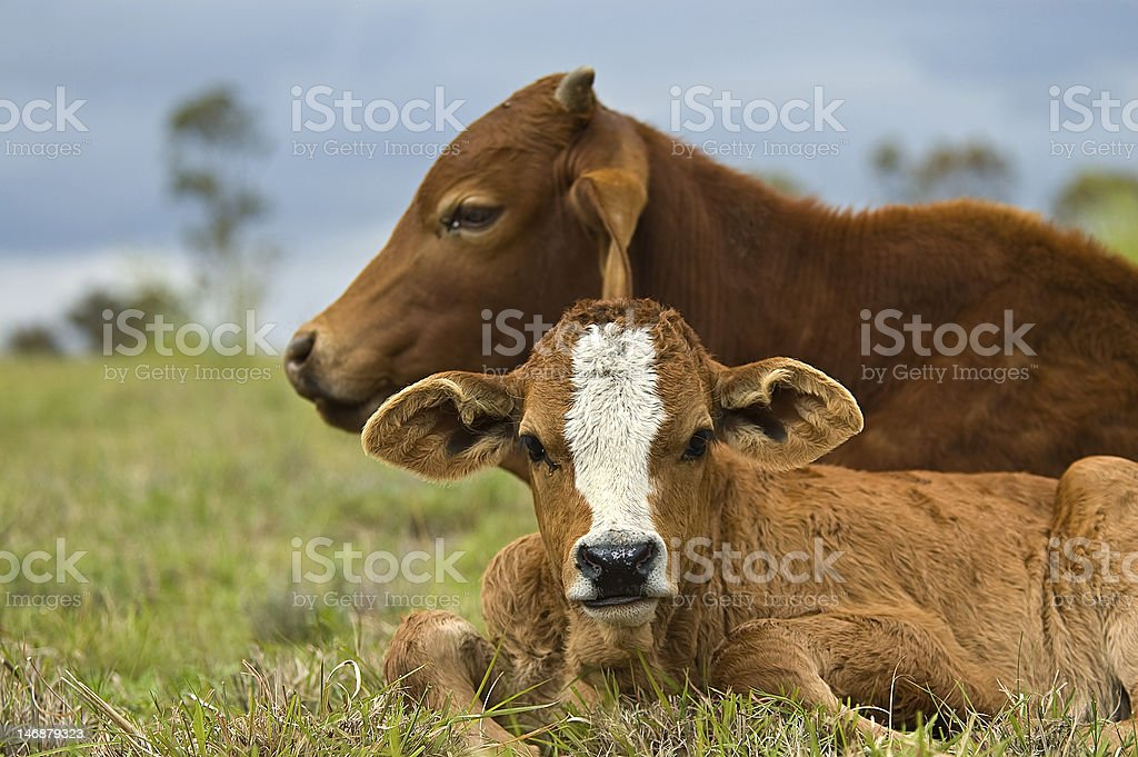 Brown Beef cow with calf resting in the cattle pasture royalty-free stock photo