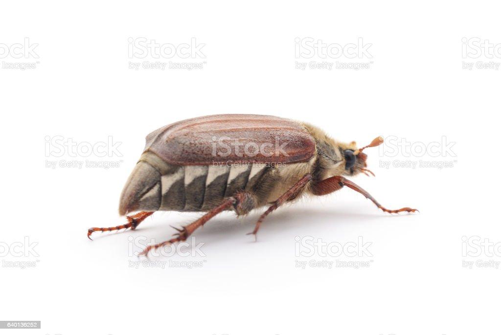 Brown beetle. stock photo
