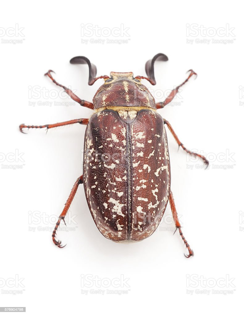 Brown beetle with white spots. stock photo