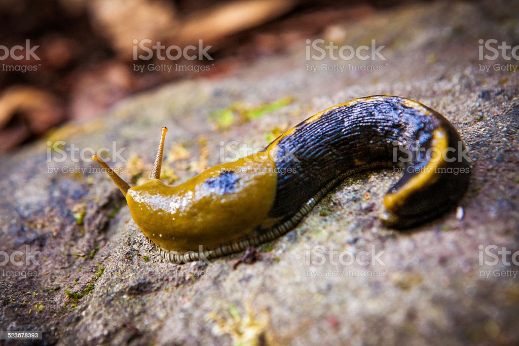 Brown & Black Spotted Banana Slug royalty-free stock photo