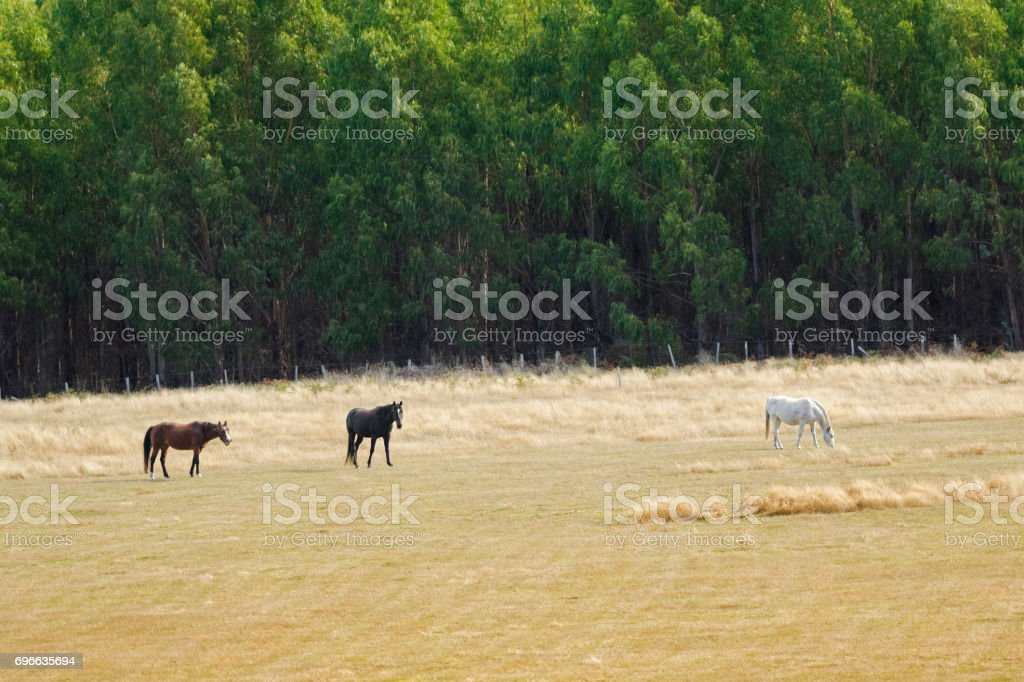 Brown Black White horse nibbling grass in the field in Tasmania, Australia stock photo