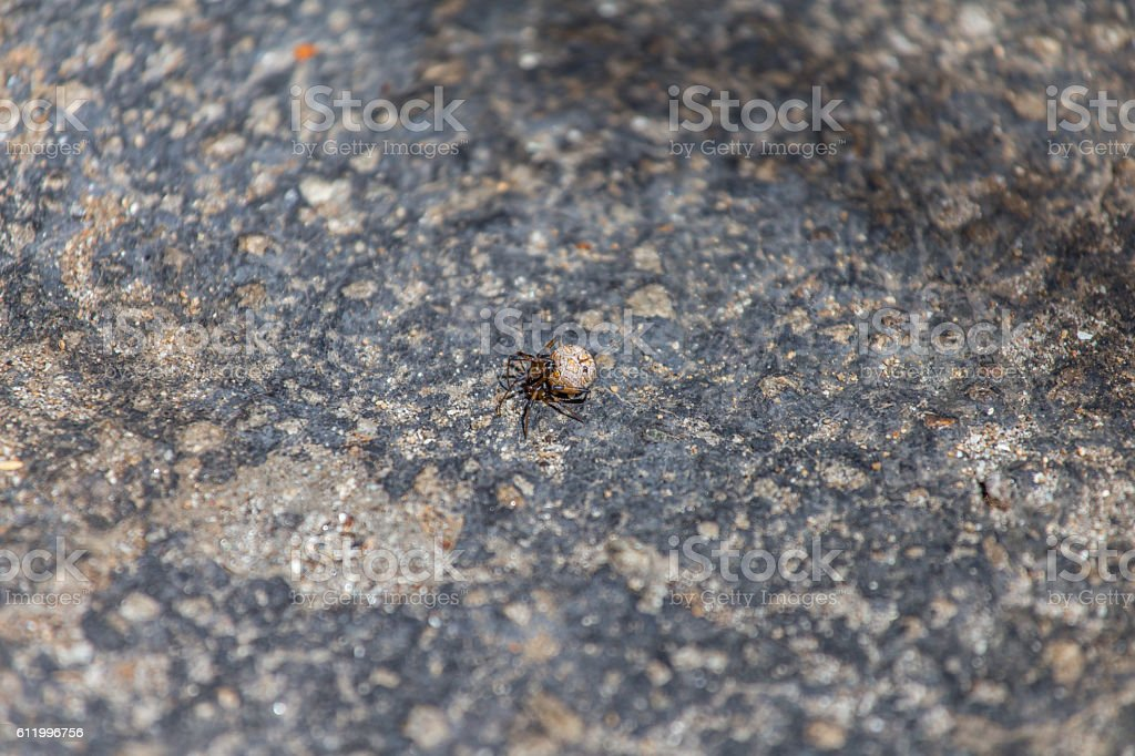 Brown black widow dead on the ground stock photo