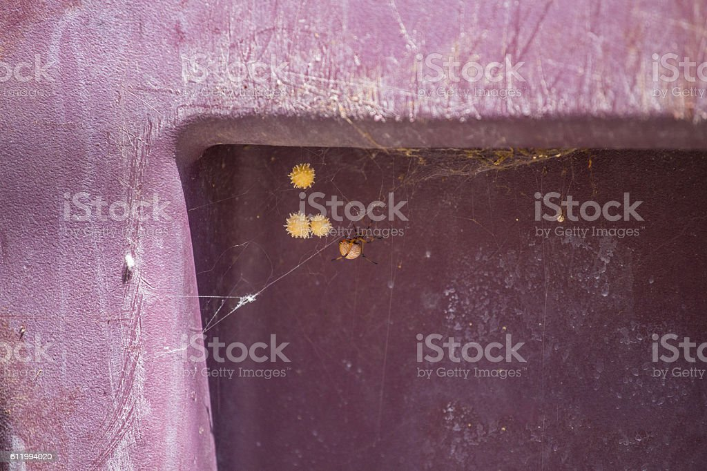 Brown black widow eggs and spider on a trashcan stock photo