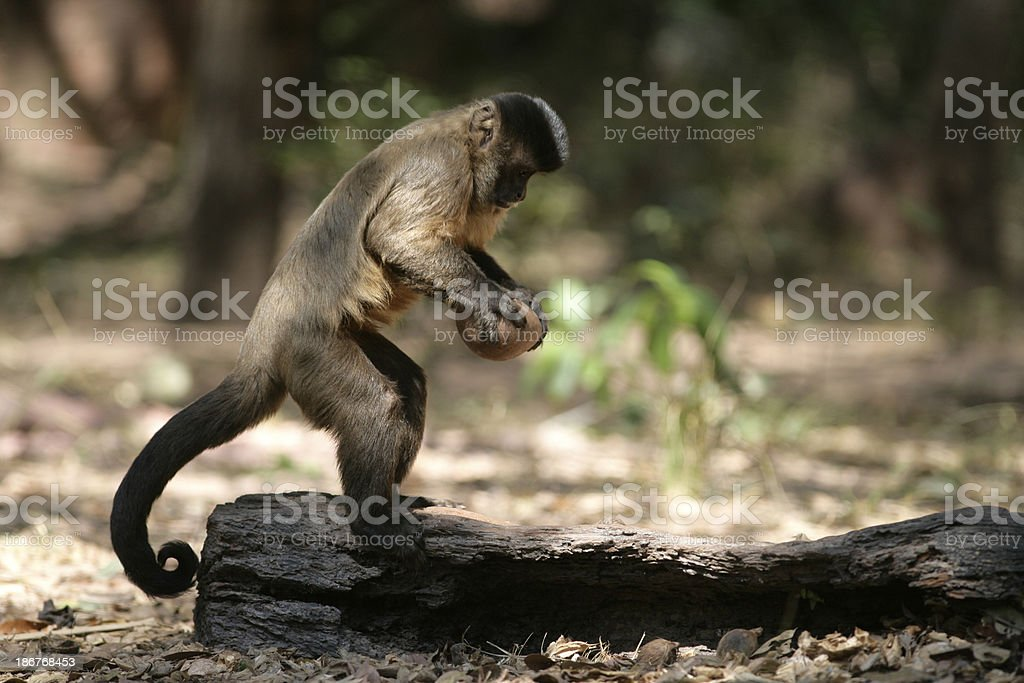 Brown, black-striped, or bearded capuchin, Cebus libidinosus, stock photo