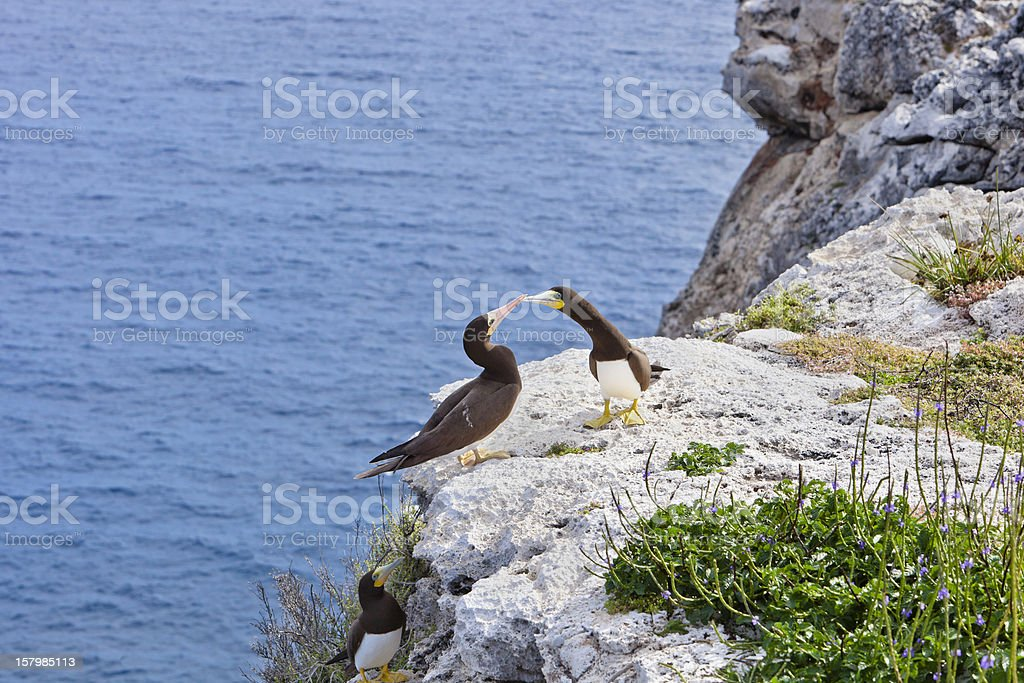 Brown Boobies on the Bluff's Edge, Cayman Islands stock photo