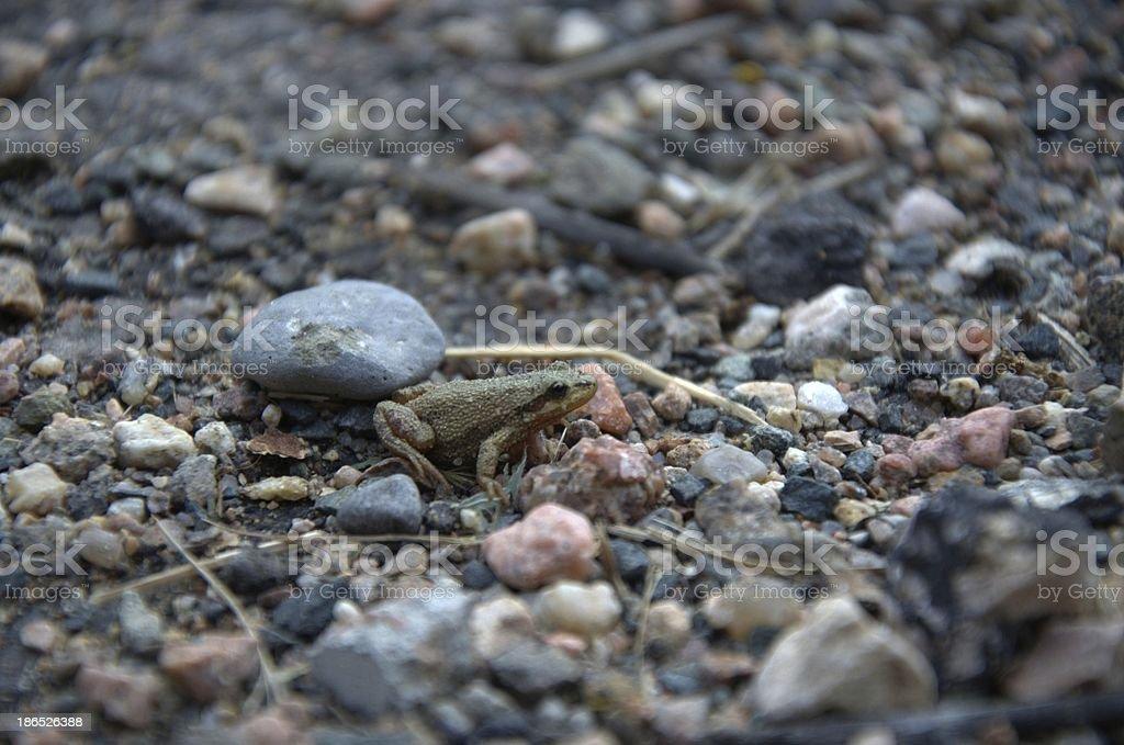 Brown boreal chorus frog stock photo