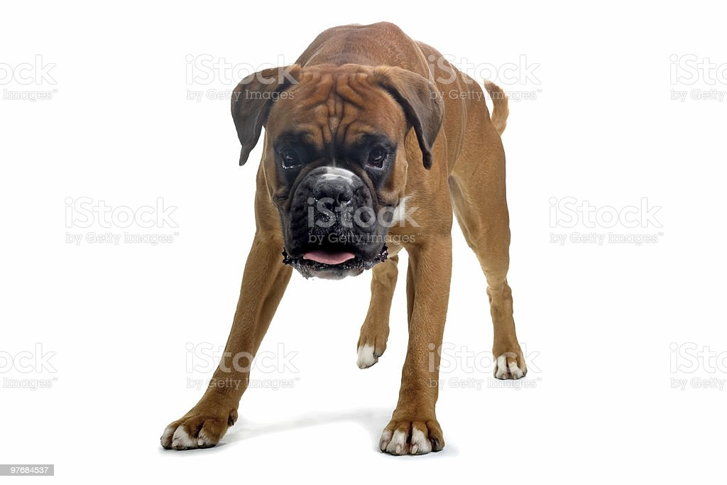 A brown boxer dog on a white background royalty-free stock photo