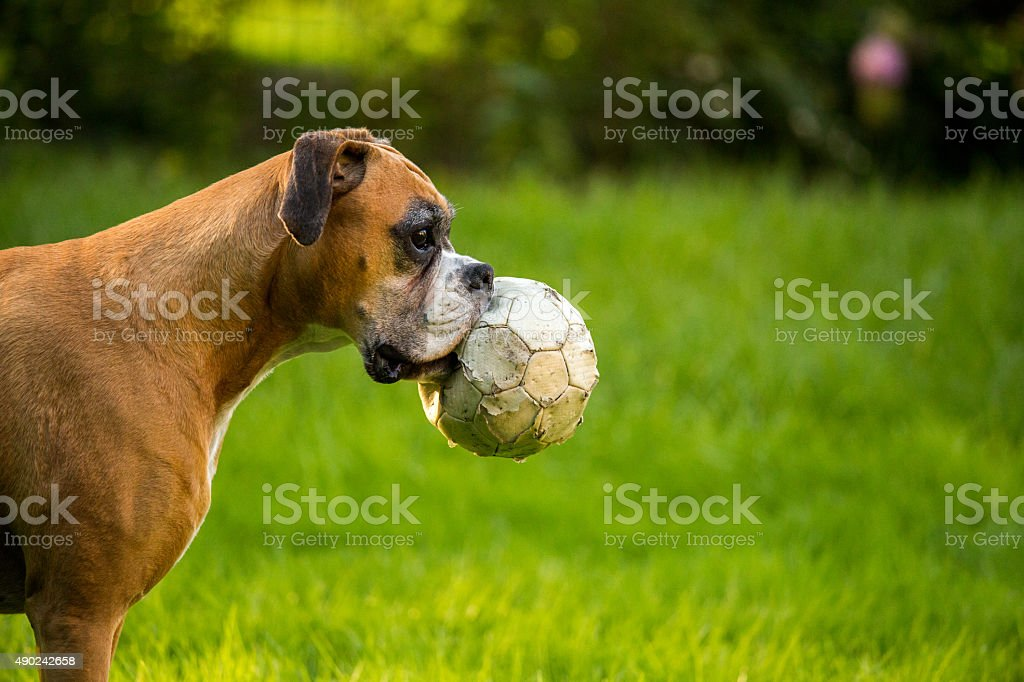 Brown boxer dog playing with ball in garden stock photo
