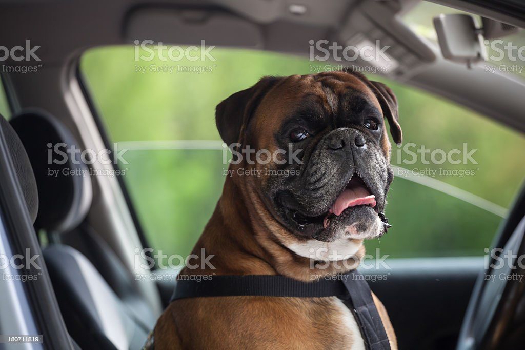 Brown boxer dog riding shotgun in an unattended car royalty-free stock photo