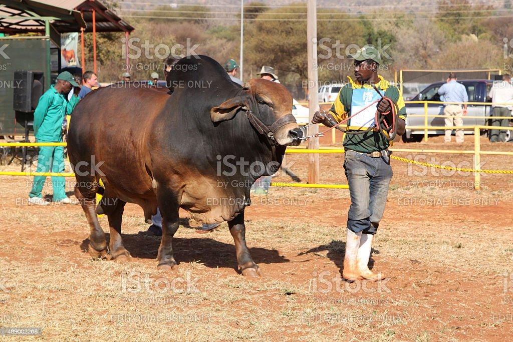 Brown Brahman bull lead by handler photo stock photo