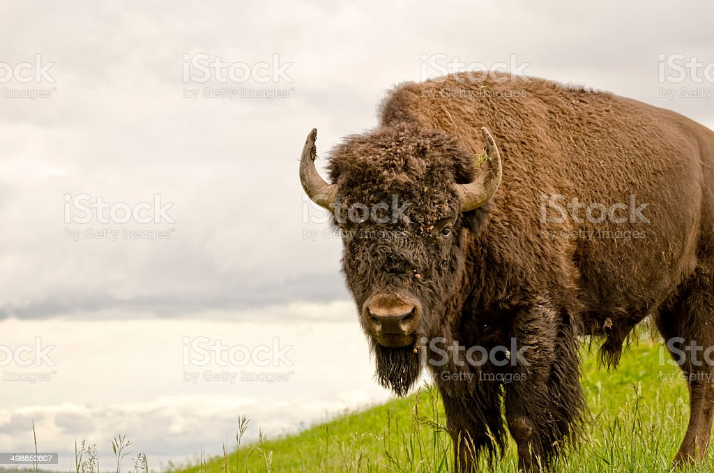 Brown buffalo in green grass stock photo