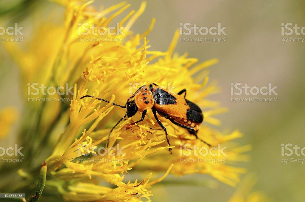 Brown bug working on goldenrod stock photo