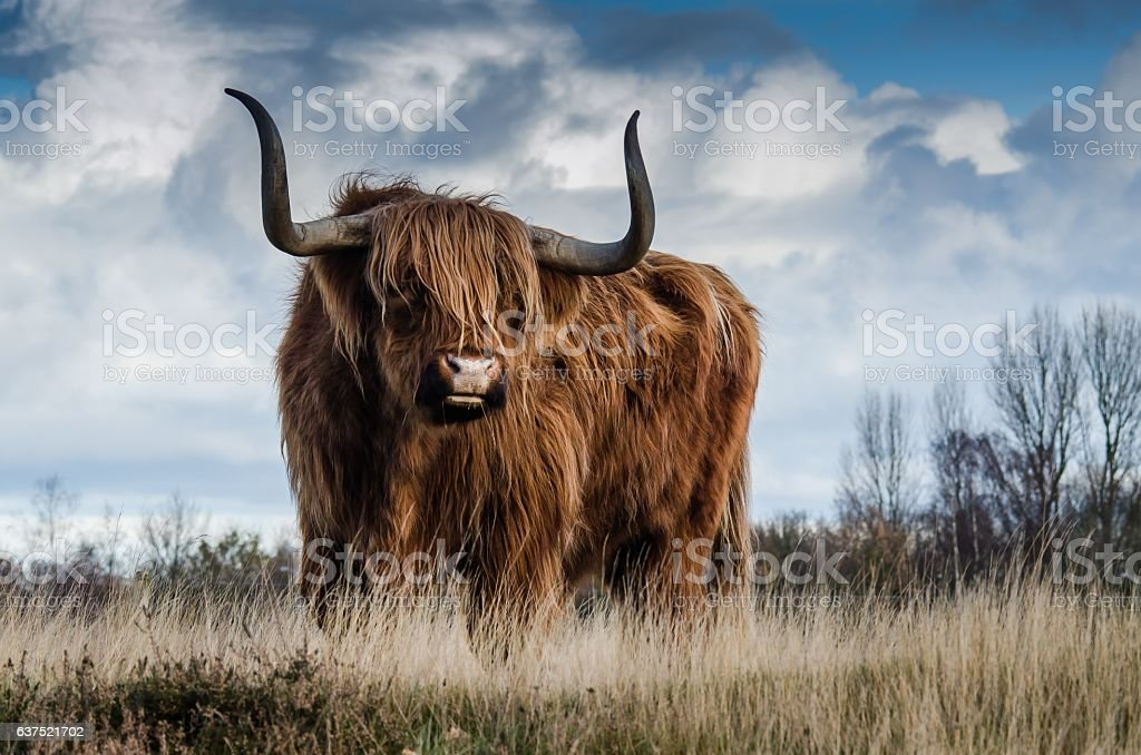Brown Bull on Grass Field Under Clouded Sky stock photo