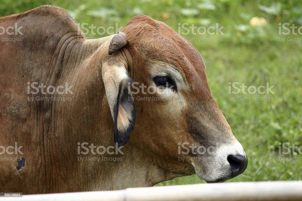 Brown bull royalty-free stock photo