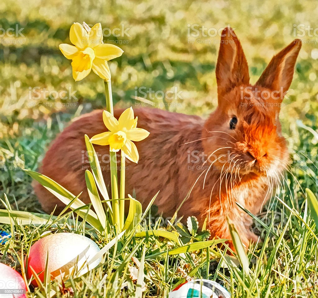 brown bunny in the grass stock photo