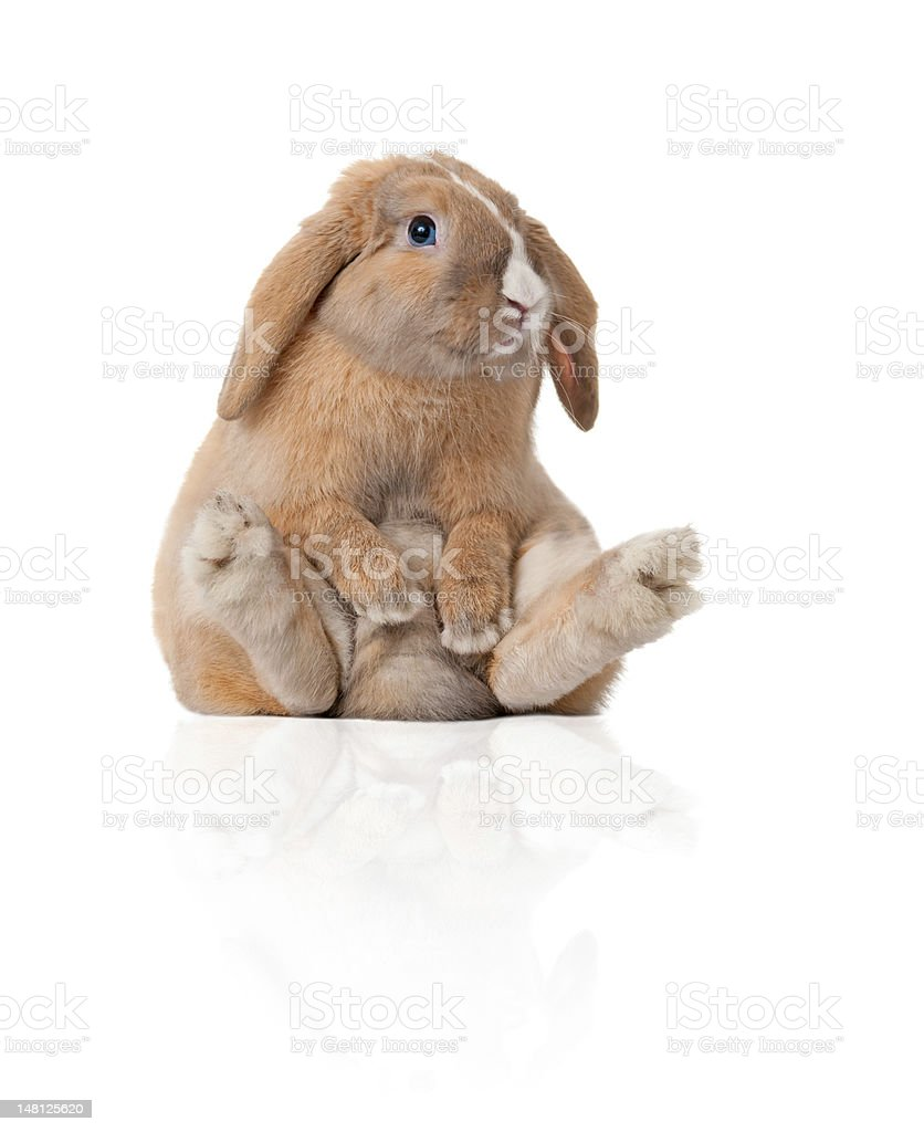 Brown bunny sitting like a person stock photo
