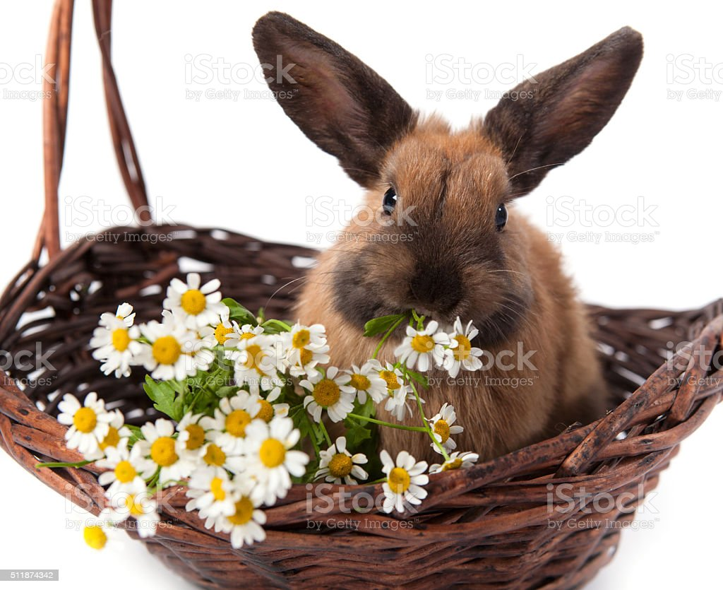 brown bunny sitting with flowers in a basket stock photo