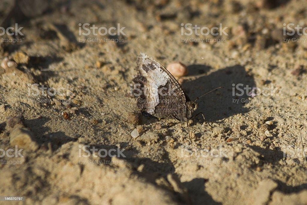 Brown Butterfly - Mariposa Marron stock photo