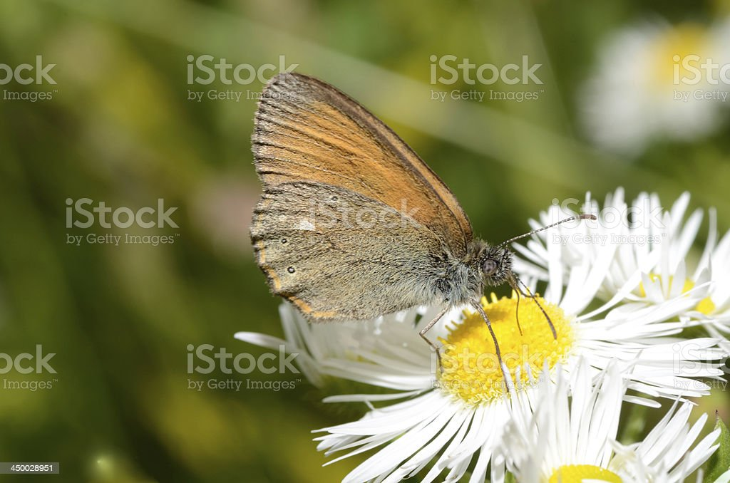 brown butterfly on flower stock photo