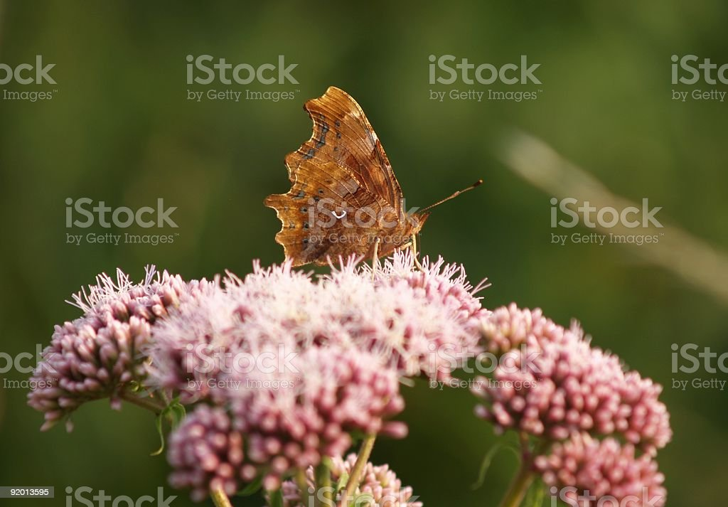 Brown Butterfly on Pink flower stock photo