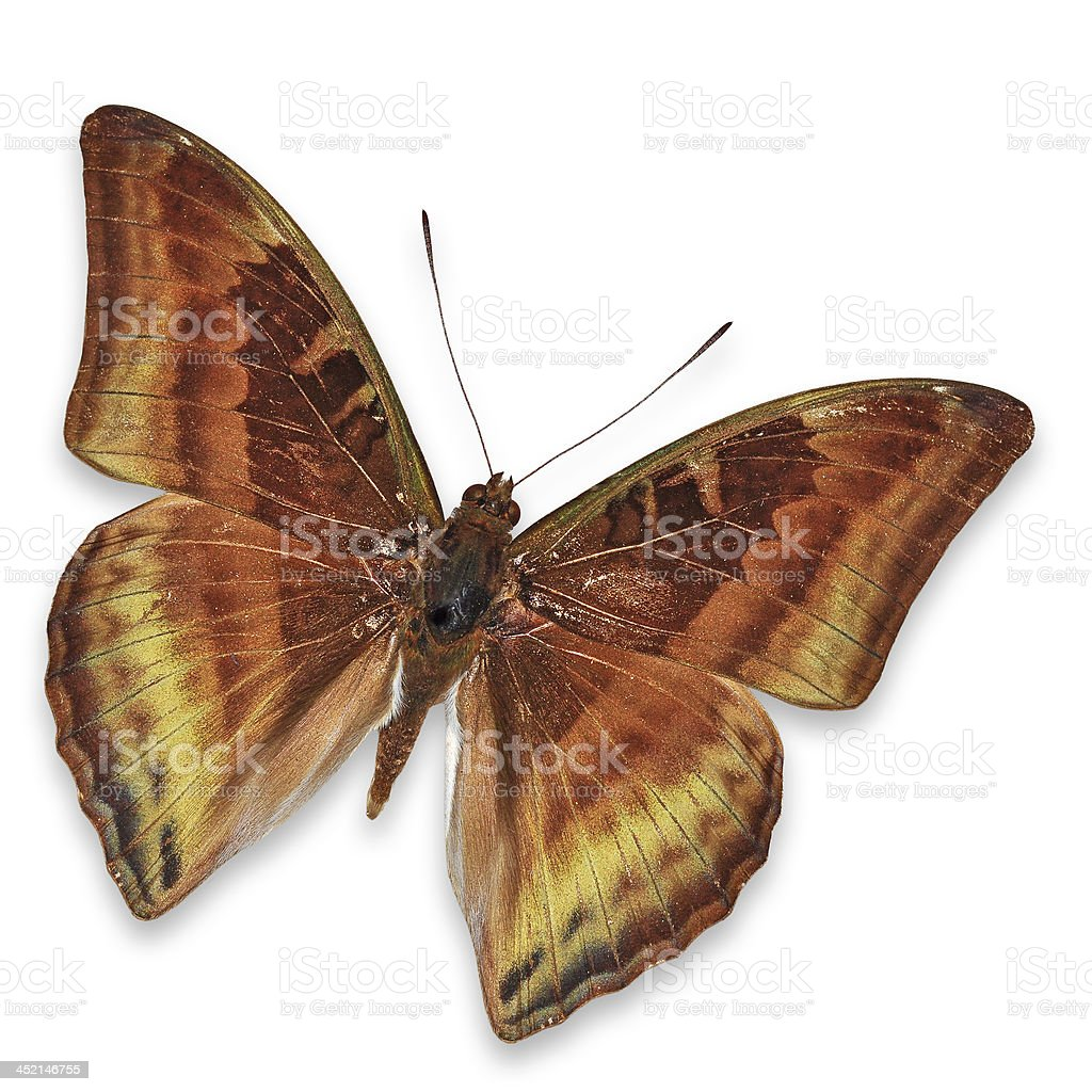 Brown butterfly royalty-free stock photo