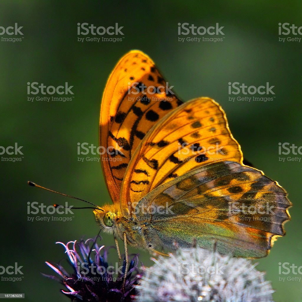 A brown butterfly sitting on a flower stock photo