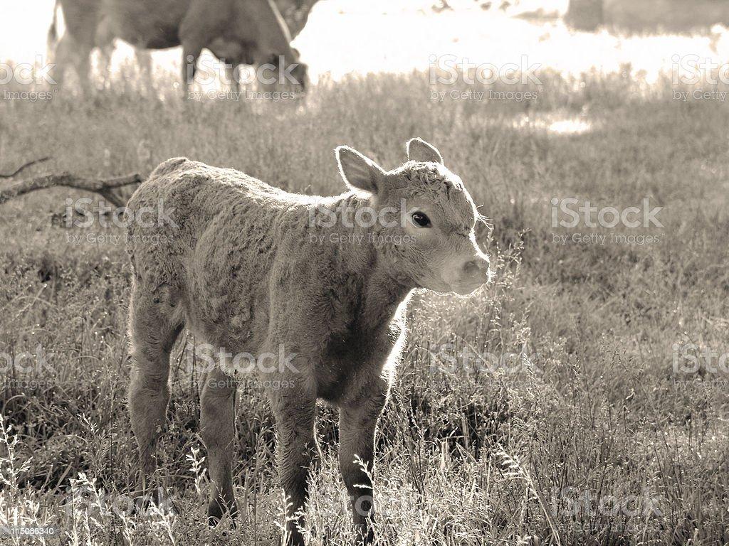 brown calf royalty-free stock photo