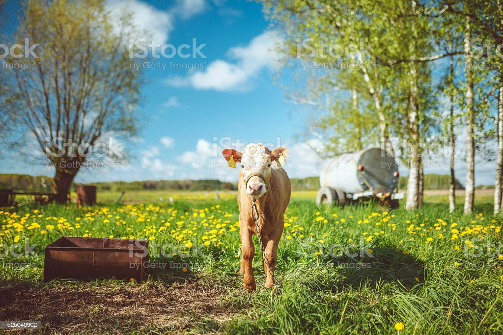 Brown calf stock photo