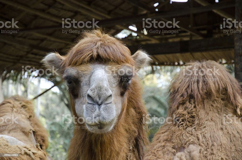 Brown Camel royalty-free stock photo