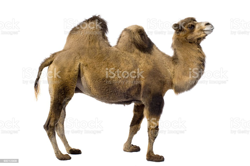 Brown camel with two humps on a white background stock photo