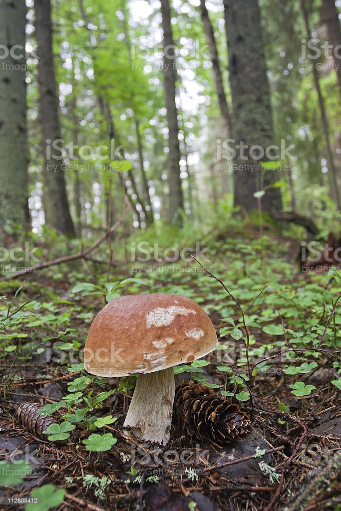 Brown cap mushroom in the forest stock photo