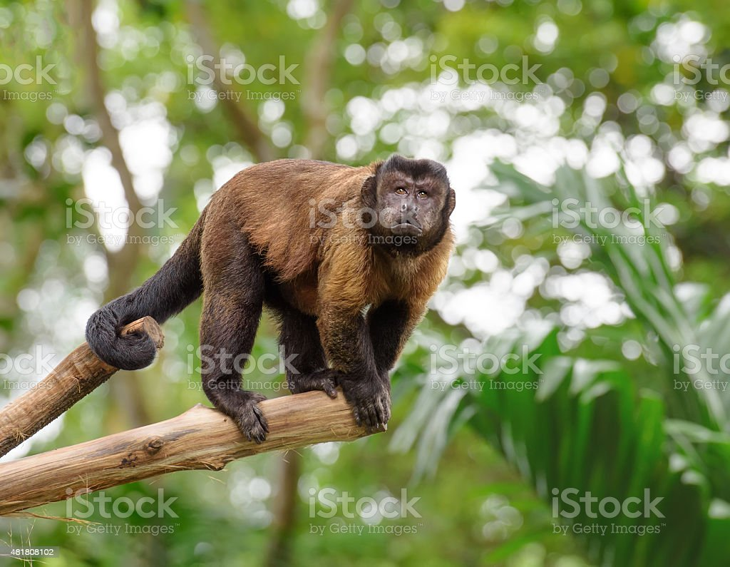 Brown capuchin monkey in rainforest stock photo